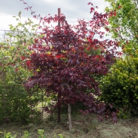 Japanese Maple Bloodgood compliments of Boyds Nursery