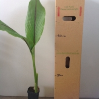 Javanese Ginger For Sale Mega Tube