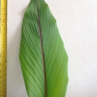 Leaf of the Javanese Ginger
