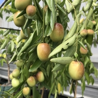 JuJubes being grown in bonsai
