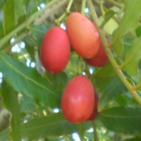 Kaffir Plum By Consultaplantas [CC BY-SA 4.0  (https://creativecommons.org/licenses/by-sa/4.0)], Cropped from Wikimedia Commons