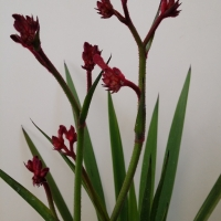 Bush Elegance kangaroo paw flowers By DaleysFruit.com.au [All Rights Reserved]
