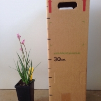 Kangaroo Paw Bush Pearl For Sale Mega Tube