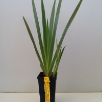 Kangaroo Paw -Yellow Gem For Sale