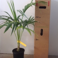 Kentia Palm For Sale 165mm pot
