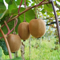 Kiwi fruit on vine By DaleysFruit.com.au [All Rights Reserved]