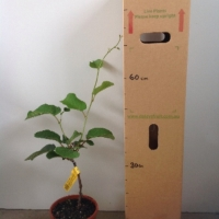 Kiwifruit Dexter female For Sale 165mm pot
