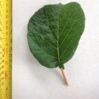 Leaf of the Kiwifruit Dexter female