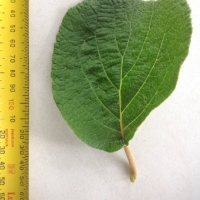 Leaf of the Kiwifruit Male