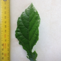Leaf of the Kwai Muk