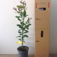 Lemon - Eureka For Sale (Size: Large)  (Grafted)