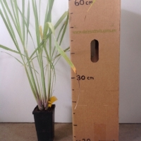 Lemon Grass For Sale (Size: Medium)  (Rhizome)