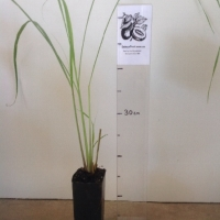 Lemon Grass For Sale (Size: Small)  (Rhizome)
