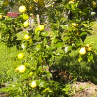 Lemon Lisbon Tree Growing and Fruiting  By Jan4 My Edible Page https://www.daleysfruit.com.au/my/7873/#44510 [All Rights Reserved]