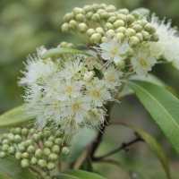 Lemon Myrtle By DaleysFruit.com.au [All Rights Reserved]