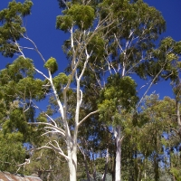Lemon scented gums By Bidgee [CC BY 3.0  (https://creativecommons.org/licenses/by/3.0)], from Wikimedia Commons