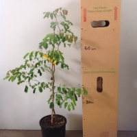 Leopard Tree For Sale (Size: Large)  (Grown from Seed)