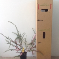 Leptospermum Pink Cascade For Sale (Size: Medium)  (Cutting Grown)