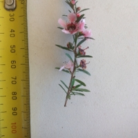 Leaf of the Leptospermum Pink Cascade