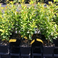 Young Hinterland Gold Trees in nursery