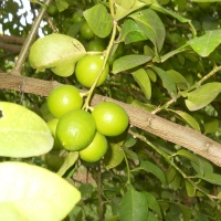 Citrus aurantifolia Key lime or west indian lime By YVSREDDY [CC BY-SA 3.0  (https://creativecommons.org/licenses/by-sa/3.0)], from Wikimedia Commons