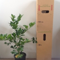 Lime - West Indian Seedling For Sale (Size: Large)  (Grown from Seed)