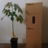 Little Kurrajong For Sale (Size: Medium)  (Grown from Seed)