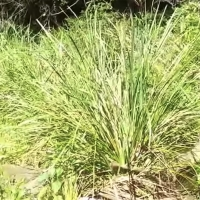 Lomandra longifolia Mat Rush By DaleysFruit.com.au [All Rights Reserved]