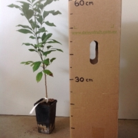 Longan Kohala Seedling For Sale Mega Tube