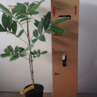 Longan Kohala Seedling For Sale 165mm pot