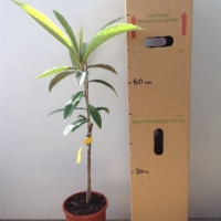 Loquat - Bessell Brown For Sale (Size: Large)  (Grafted)