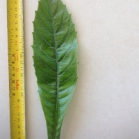 Leaf of the Loquat Bessell Brown