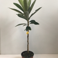 Loquat - Bessell Brown For Sale (Large)