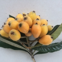 Nagasakiwase Loquat in Exclusion Orchard if thinned fruit is much larger Not fully ripe they will turn deep orange when ripe