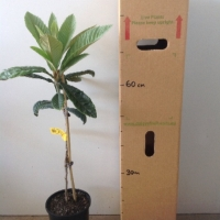 Loquat Nagasakiwase For Sale 165mm pot