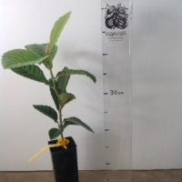 Loquat Seedling For Sale Super Tube