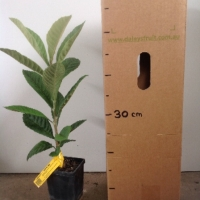 Loquat Seedling For Sale Mega Tube