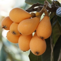 Loquat Fruit growing on Tree By gi8mail [CC0 1.0 (https://creativecommons.org/publicdomain/zero/1.0/deed.en)] From Pixabay