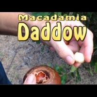 Daddow Macadamia Nut Tree