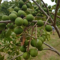 Guros macadamia on tree By Helen Gouros [All Rights Reserved, Used By Permission]
