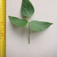 Leaf of the Madagascar Bean