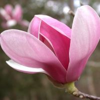 Magnolia soulangeana By DaleysFruit.com.au [All Rights Reserved]