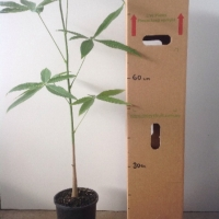 Malabar Chestnut For Sale (Size: Large)  (Grown from Seed)