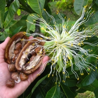 Malabar Chestnut Fruit and flower