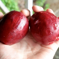 Malay Apple Fruit in Hand By yakovlev.alexey from Moscow, Russia (Syzygium malaccense (Myrtaceae) – Malay apple) [CC BY-SA 2.0  (https://creativecommons.org/licenses/by-sa/2.0)], via Wikimedia Commons