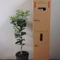 Mandarin - Afourer Murcott For Sale (Size: Large)  (Grafted)