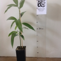 Mango Bowen Seedling For Sale Super Tube
