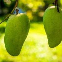 Green Mango Not exact variety By Josch13 [CC0 1.0 (https://creativecommons.org/publicdomain/zero/1.0/deed.en)] From Pixabay