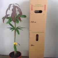 Mango - Kwan For Sale (Size: Large)  (Grafted)