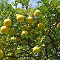 Citrus ichangensis By Rosewoman [CC BY 2.0 (https://creativecommons.org/licenses/by/2.0/)] From Flickr https://flic.kr/p/LxMEff